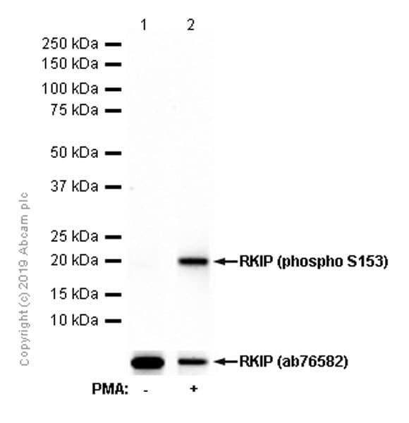 Western blot - Anti-RKIP (phospho S153) antibody [EP2845Y] - BSA and Azide free (ab247417)