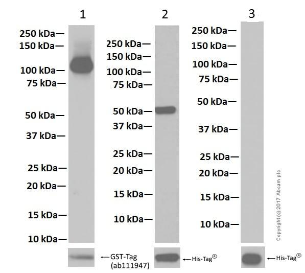 Western blot - Anti-PIAS1+PIAS2 antibody [EPR2581Y] - BSA and Azide free (ab247490)