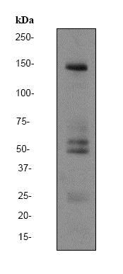 Western blot - Anti-SynGAP antibody [EPR2883Y] - BSA and Azide free (ab247491)