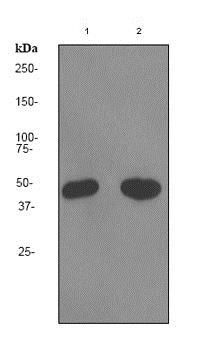 Western blot - Anti-HB9/HLXB9/MNX1 antibody [EPR3342] - BSA and Azide free (ab247504)