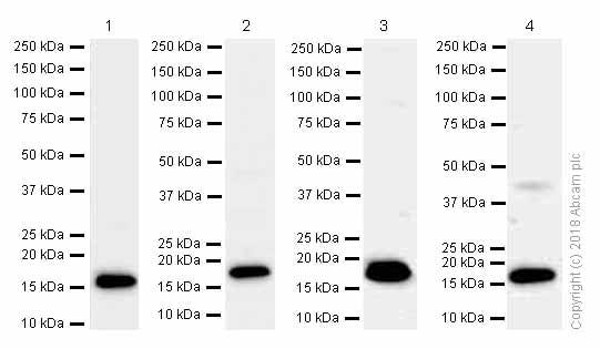 Western blot - Anti-LMO2 antibody [EP3257] - BSA and Azide free (ab247530)
