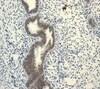 Immunohistochemistry (Formalin/PFA-fixed paraffin-embedded sections) - Anti-Lipin 1 antibody [EPR3725] - BSA and Azide free (ab247539)