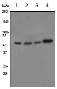 Western blot - Anti-PAX7 antibody [EPR3353] - BSA and Azide free (ab247540)