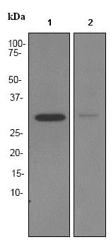 Western blot - Anti-BNP antibody [EPR3735] - BSA and Azide free (ab247572)