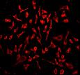 Immunocytochemistry - Anti-p23 antibody [EPR3846] - BSA and Azide free (ab247573)