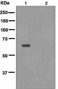 Western blot - Anti-AKT1 (phospho T450) antibody [EPR4157] - BSA and Azide free (ab247614)