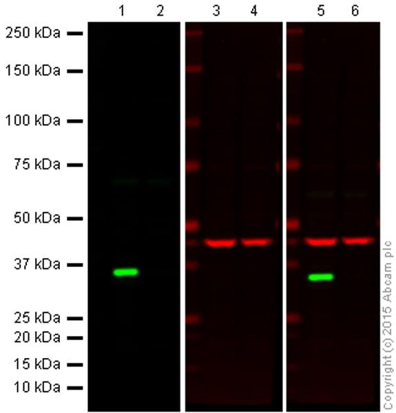 Western blot - Anti-Cdk4 antibody [EPR4513-54-3] - BSA and Azide free (ab247645)