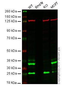 Western blot - Anti-BRCC36 antibody [EPR4366] - BSA and Azide free (ab247660)