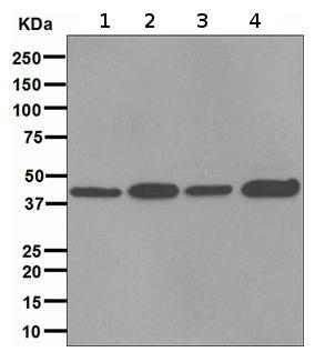 Western blot - Anti-FKBP6 antibody [EPR3673] - BSA and Azide free (ab247665)