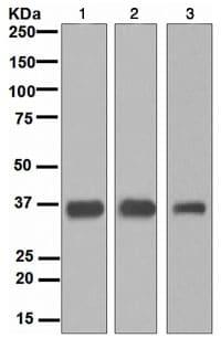 Western blot - Anti-SMN/Gemin 1 antibody [EPR4430] - BSA and Azide free (ab247668)