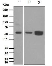 Western blot - Anti-MPP1 antibody [EPR5865] - BSA and Azide free (ab247684)
