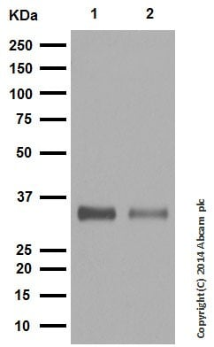 Western blot - Anti-SMN/Gemin 1 antibody [EPR4429] - BSA and Azide free (ab247685)