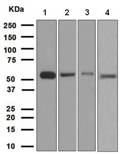 Western blot - Anti-HSPA14 antibody [EPR4210] - BSA and Azide free (ab247697)