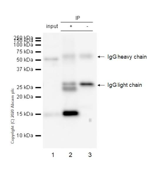 Immunoprecipitation - Anti-Galectin 7 antibody [EPR4287] - BSA and Azide free (ab247704)