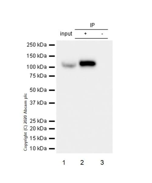 Immunoprecipitation - Anti-Hsp105/HSP110 antibody [EPR4577] - BSA and Azide free (ab247705)