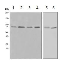 Western blot - Anti-HDAC10 antibody [EPR3576] - BSA and Azide free (ab247718)