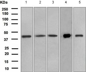 Western blot - Anti-PON3 antibody [EPR2902(2)] - BSA and Azide free (ab247724)