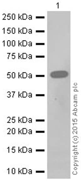 Western blot - Anti-RGS9 antibody [EPR2873] - BSA and Azide free (ab247728)