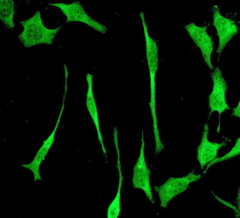 Immunocytochemistry - Anti-PSMD14 antibody [EPR4257] - BSA and Azide free (ab247771)