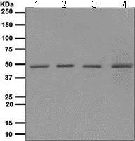 Western blot - Anti-NR2E1/Tailless/TLX antibody [EPR4491] - BSA and Azide free (ab247783)