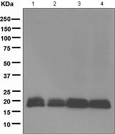 Western blot - Anti-BIT1 antibody [EPR5165] - BSA and Azide free (ab247820)