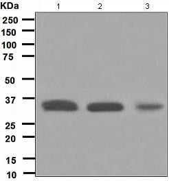 Western blot - Anti-HUS1 antibody [EPR5132] - BSA and Azide free (ab247838)