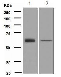 Western blot - Anti-GRB7 antibody [EPR4378] - BSA and Azide free (ab247908)
