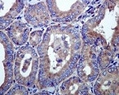 Immunohistochemistry (Formalin/PFA-fixed paraffin-embedded sections) - Anti-Hsp105/HSP110 antibody [EPR4576] - BSA and Azide free (ab247912)