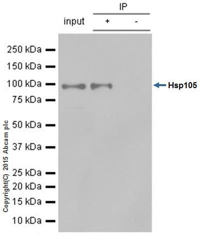 Immunoprecipitation - Anti-Hsp105/HSP110 antibody [EPR4576] - BSA and Azide free (ab247912)