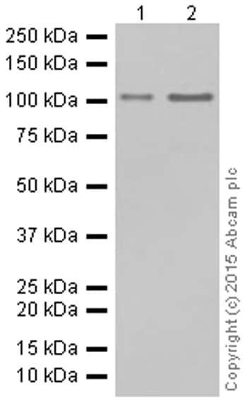 Western blot - Anti-Hsp105/HSP110 antibody [EPR4576] - BSA and Azide free (ab247912)
