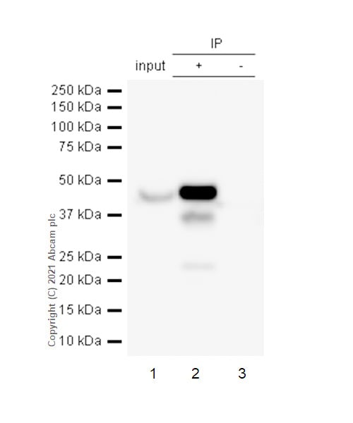 Immunoprecipitation - Anti-FDFT1 antibody [EPR4626] - BSA and Azide free (ab247916)