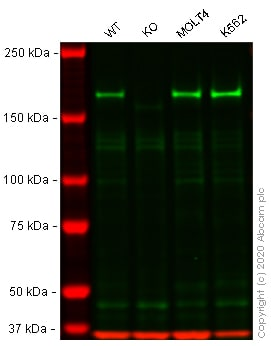 Western blot - Anti-Werner's syndrome helicase WRN antibody [EPR6392] - BSA and Azide free (ab247955)