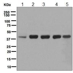 Western blot - Anti-RAE1 antibody [EPR6923] - BSA and Azide free (ab248002)