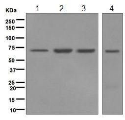 Western blot - Anti-LSS antibody [EPR6704(B)] - BSA and Azide free (ab248003)
