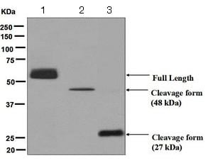 Western blot - Anti-CPN1 antibody [EPR6229] - BSA and Azide free (ab248031)