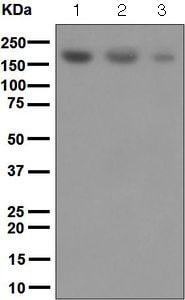 Western blot - Anti-SARA antibody [EPR5020] - BSA and Azide free (ab248032)