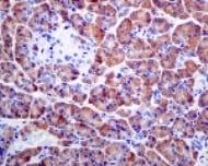 Immunohistochemistry (Formalin/PFA-fixed paraffin-embedded sections) - Anti-Pancreatic Lipase/PTL antibody [EPR6276] - BSA and Azide free (ab248057)