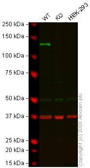 Western blot - Anti-Integrin alpha 6 antibody [EPR5578] - BSA and Azide free (ab248060)