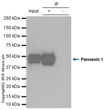 Immunoprecipitation - Anti-Pannexin 1 antibody [EPR5556] - BSA and Azide free (ab248078)