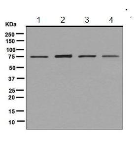 Western blot - Anti-KAT7 / Hbo1 / MYST2 antibody [EPR7194(B)] - BSA and Azide free (ab248087)