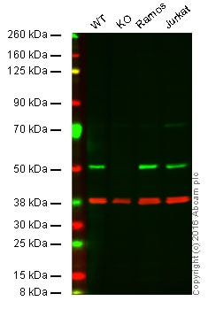Western blot - Anti-CSK antibody [EPR6771] - BSA and Azide free (ab248095)