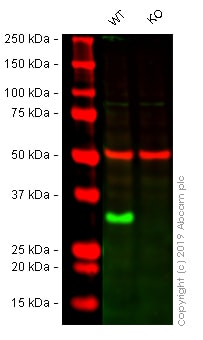 Western blot - Anti-Histone H1.0 antibody [EPR6537] - BSA and Azide free (ab248104)