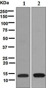 Western blot - Anti-LYNX1 antibody [EPR6829] - BSA and Azide free (ab248107)