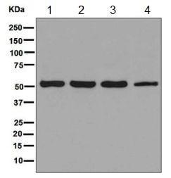 Western blot - Anti-JNK3 antibody [EPR5493(2)] - BSA and Azide free (ab248117)