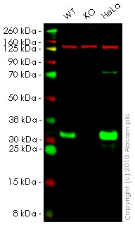 Western blot - Anti-GCLM antibody [EPR6667] - BSA and Azide free (ab248137)