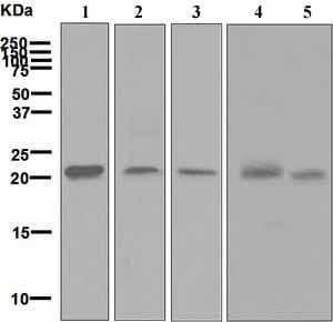 Western blot - Anti-HN1 antibody [EPR7364] - BSA and Azide free (ab248138)