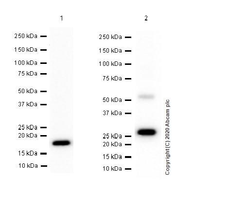 Western blot - Anti-IL-28A + IL-28B antibody [EPR5328(2)] - BSA and Azide free (ab248141)
