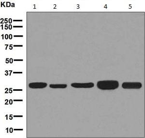 Western blot - Anti-MRPL28 antibody [EPR7578(B)] - BSA and Azide free (ab248145)