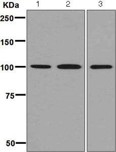 Western blot - Anti-MCM3 antibody [EPR7081] - BSA and Azide free (ab248148)