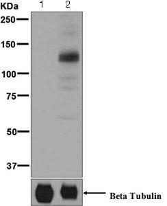 Western blot - Anti-MARK1 (phospho T215) antibody [EPR5463] - BSA and Azide free (ab248152)